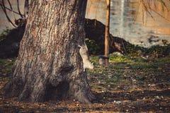 沿着走树的Squirell 免版税库存照片