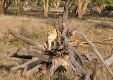 沿着路的一只雌狮在一棵死的树 免版税图库摄影