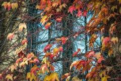 沿窗口的秋天藤 图库摄影
