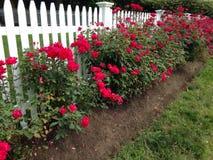 沿篱芭的玫瑰 免版税库存图片