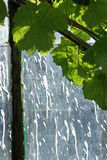 沿老温室山墙的葡萄叶子 库存图片