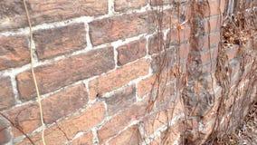 沿老砖墙的运动有的一个窗口的一个生锈的花格和干狂放的葡萄 影视素材