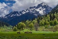 沿草甸在阿布哈兹,马牧群走 高山的美丽的景色 库存图片