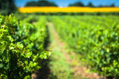 沿著名酒路线的葡萄园在阿尔萨斯,法国 免版税库存照片