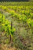 沿著名酒路线的葡萄园在阿尔萨斯,法国 库存照片