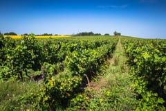 沿著名酒路线的葡萄园在阿尔萨斯,法国 免版税库存图片