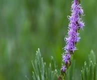 沿街叫卖者` s多种花色鲜明之植物鹿舌草chapmanii在选择聚焦有被弄脏的自然绿色背景 库存图片