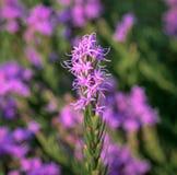 沿街叫卖者` s多种花色鲜明之植物鹿舌草chapmanii特写镜头有被弄脏的背景 免版税库存图片