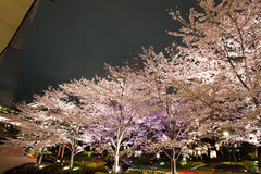 沿街道在东京中间地区, Minato-Ku,东京,日本的有启发性樱桃树在春天, 2017年 免版税库存图片