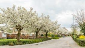 沿街道的开花的树在春天期间 免版税库存图片