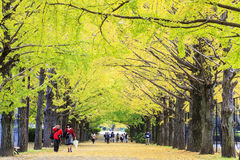 沿街道的长度的美丽的银杏树 库存图片