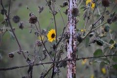 沿路旁的向日葵在相当得克萨斯价值的Ft 免版税库存图片