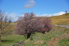 沿路的开花的树 库存图片