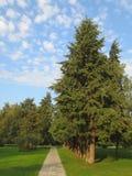 沿路的高冷杉木在公园在夏天晴天 图库摄影