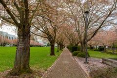 沿道路的樱花树在公园在萨利姆俄勒冈 免版税库存图片