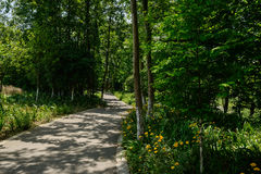 沿遮荫道路的开花的雏菊在晴朗的夏天森林  库存图片