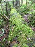 沿整个树的青苔 库存图片