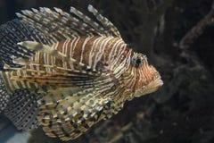 沿水中的镶边蓑鱼游泳在海洋 图库摄影