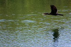 沿水的鸬鹚飞行 免版税库存照片