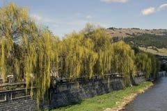 沿bistrita河的杨柳 库存图片
