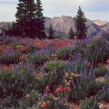 沿Great Western足迹, Wasatch范围,犹他的野花 库存图片