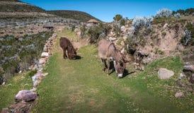 沿Isla del Sol供徒步旅行的小道的驴在Titicaca湖-玻利维亚 免版税库存照片