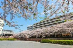 沿Meguro河,目黑区,东京,日本的樱桃树在春天 免版税库存照片