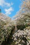 沿Meguro河,目黑区,东京,日本的樱桃树在春天 库存图片