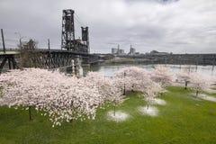 沿Willamette河的樱花 免版税库存照片