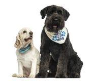 法兰德斯牧牛狗和美国美卡犬坐的togethe 免版税库存图片