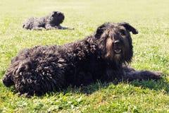 法兰德斯牧牛狗 库存照片
