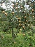 法国产苹果苹果计算机水果的树在有机果树园 免版税库存照片