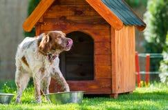 法国人在他小的木房子前面的布里坦尼西班牙猎狗 库存照片