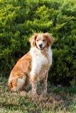 法国人布里坦尼西班牙猎狗 免版税图库摄影