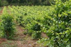 法国南部的葡萄园 免版税库存照片