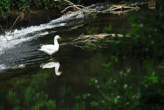 法国在瀑布附近被反射的一只美丽的白色鹅 库存图片