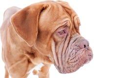 法国大型猛犬纵向 库存图片