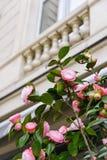 法国巴黎春天 在老房子背景的桃红色花 免版税库存图片
