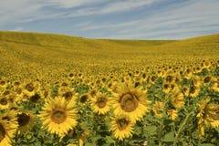 法国普罗旺斯向日葵 库存照片