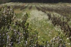 法国普罗旺斯迷迭香葡萄园 库存图片
