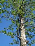 年轻法国梧桐树在春天 免版税库存照片