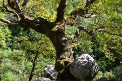 法国梧桐树干 库存图片