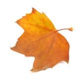 法国梧桐结构树叶子 免版税库存照片