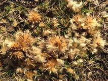 法国梧桐Occidentalis (美国梧桐)在地面的树种子 库存照片