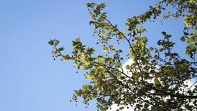 法国梧桐occidentalis 西部飞机发布了叶子 免版税库存图片