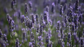 法国横向淡紫色典型的普罗旺斯 芳香域草本横向淡紫色工厂 影视素材