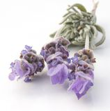 法国淡紫色 库存图片
