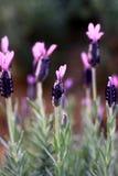 法国淡紫色 免版税库存图片