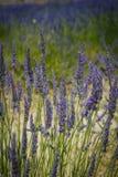 法国淡紫色 免版税图库摄影