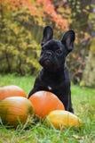 法国牛头犬和南瓜 库存图片